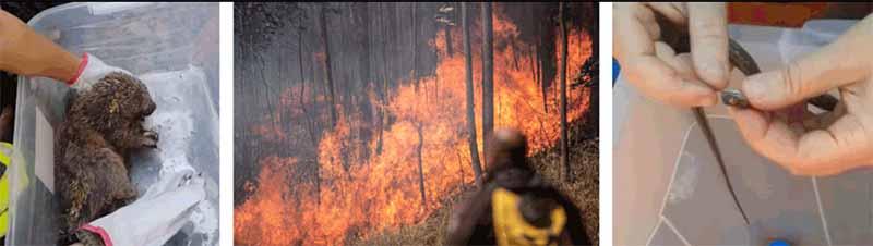 Animais são resgatados em meio a incêndio que atinge Parque do Juquery em SP; área tem ouriço, onça-parda, lobo-guará