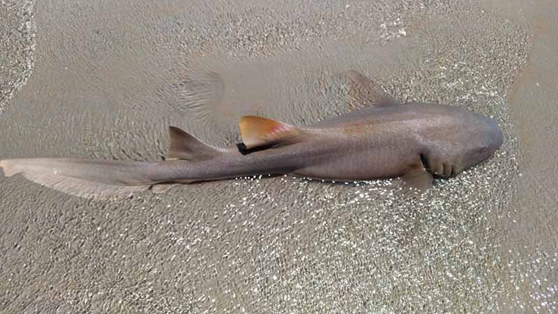 Banhistas encontram tubarão-lixa encalhado em praia de Luís Correia, no Piauí — Foto: Andrê Nascimento/ G1 PI