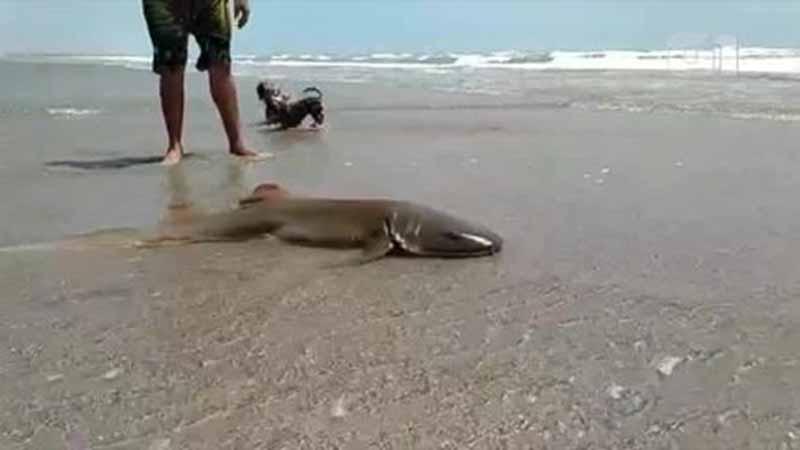 Banhistas encontram tubarão lixa encalhado em praia de Luís Correia, no Piauí