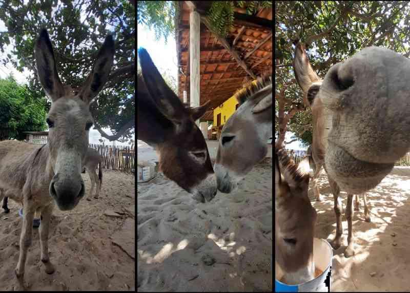 Jumentos desaparecem da praia de Barra Grande e protetores abrigam animais em terreno, no Piauí — Foto: Fábio Pitombeira Fotografia