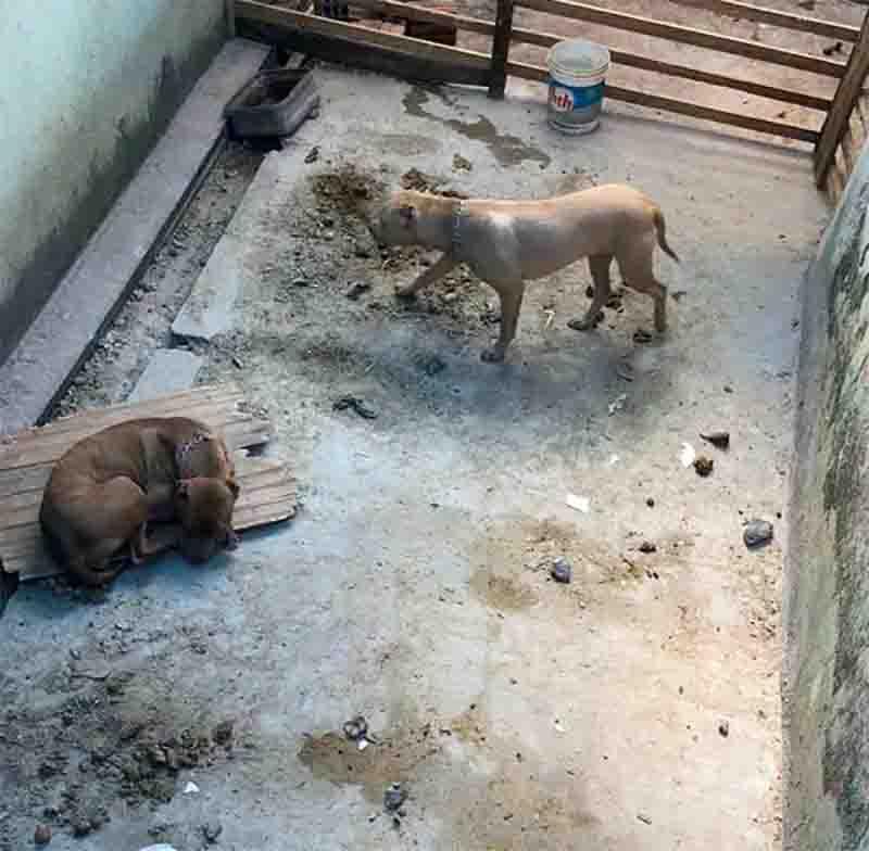 Dois são presos após polícia encontrar cadelas com orelhas cortadas e dez filhotes de pit bull desnutridos no PR