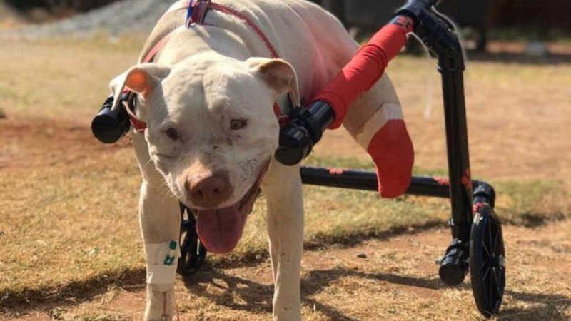 Sansão, o cão torturado que deu origem à lei federal que endureceu as penas contra maus-tratos a animais (imagem de arquivo) — Foto: Ticiana Lima Dornas.