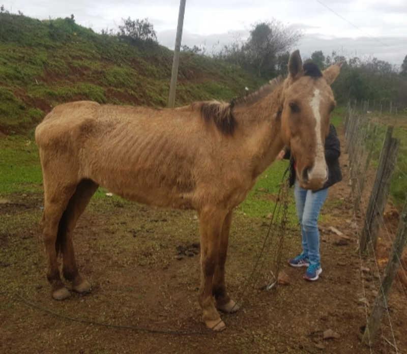 Polícia Ambiental resgata cavalo em situação de maus-tratos em Rio Pardo, RS