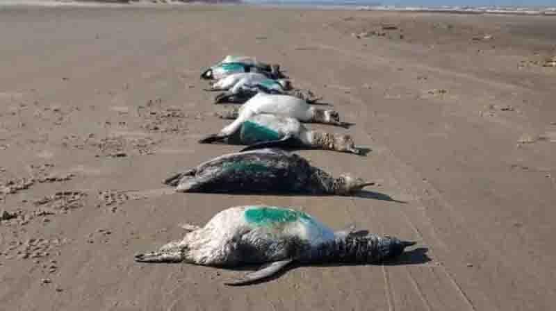 Número de pinguins mortos chama a atenção em praias do sul de SC; vídeo