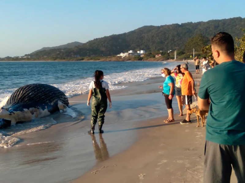 Baleia-jubarte é encontrada encalhada e morta em praia do norte da Ilha de Florianópolis, em SC