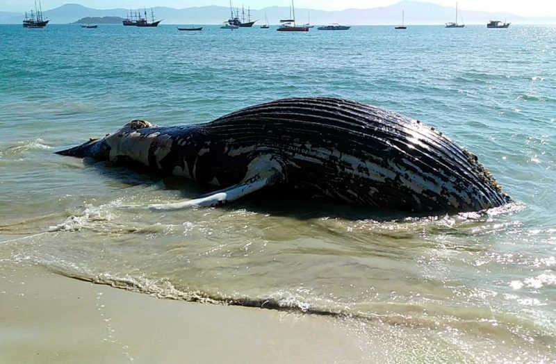 Caso aviste um mamífero, ave ou tartaruga marinha debilitada ou morta na praia, ligue 0800 642 3341, das 7h às 17h – Foto: Guilherme Kubaski/R3 Animal/ND