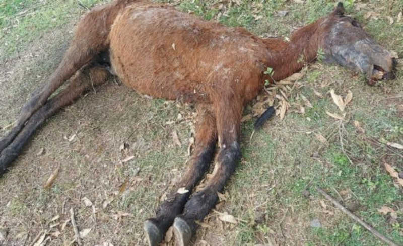 Cavalos são encontrados mortos e em situação de maus-tratos em terreno de SC