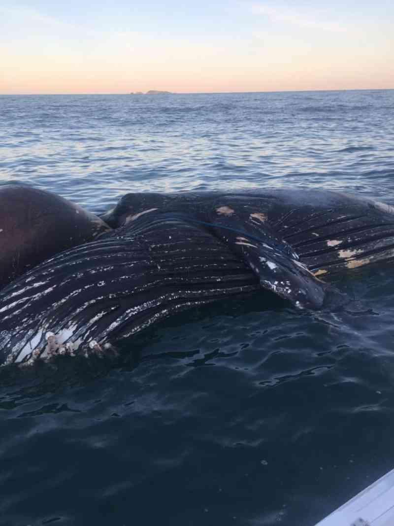 Baleia jubarte foi encontrada morta presa em redes irregulares no Sul da Ilha de Florianópolis (SC) — Foto: Polícia Militar Ambiental/Reprodução