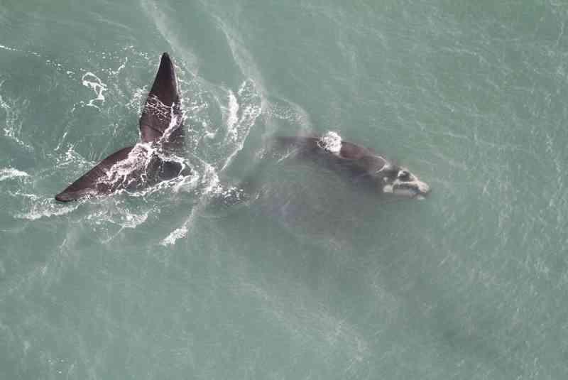 Baleias-franca em SC — Foto: Carolina Bezamat/SCPAR