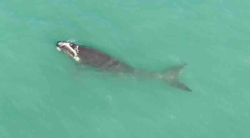 Filhote de baleia-franca em SC — Foto: ProFRANCA - Instituto Australis/Divulgação