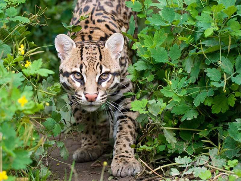 Jaguatirica (Leopardus pardalis) é o maior entre os felinos de pequeno porte do Brasil — Foto: Onçafari