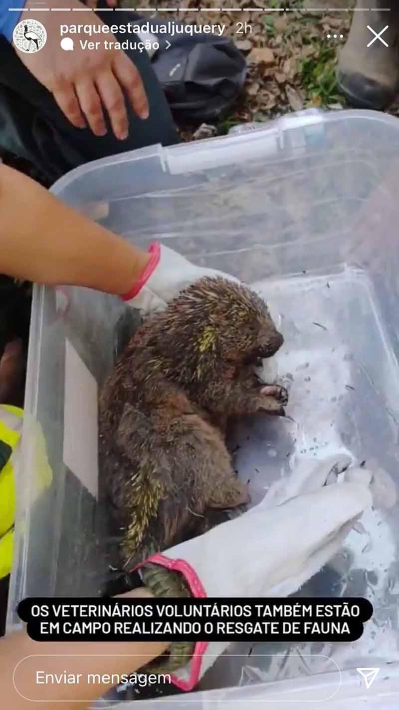 Ouriço é resgatado após incêndio no Parque Estadual do Juquery em vídeo postado na página oficial do órgão — Foto: Reprodução/Redes sociais