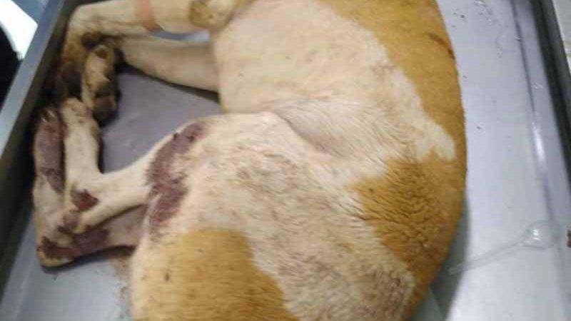 Polícia procura acusado de torturar e matar dois cachorros em Potirendaba, SP