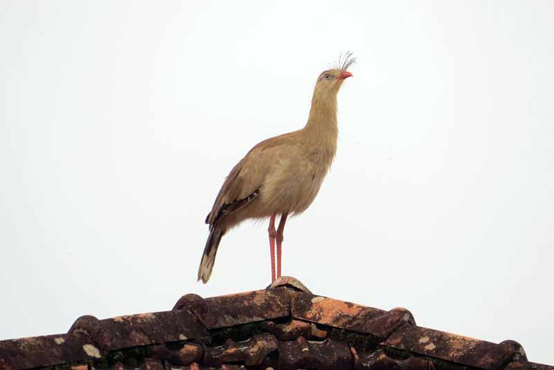 Seriema, ave típica do Cerrado, é símbolo do Parque Estadual do Juquery — Foto: Divulgação/Secretaria Estadual da Infraestrutura e Meio Ambiente