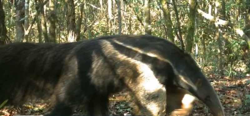 Tamanduá-bandeira é um dos animais que vivem na estação em Luís Antônio, SP, e correm risco de extinção — Foto: Reprodução/EPTV