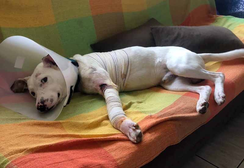 Thor deitado no sofá da clínica depois da cirurgia para amputar uma das patas — Foto: Arquivo pessoal