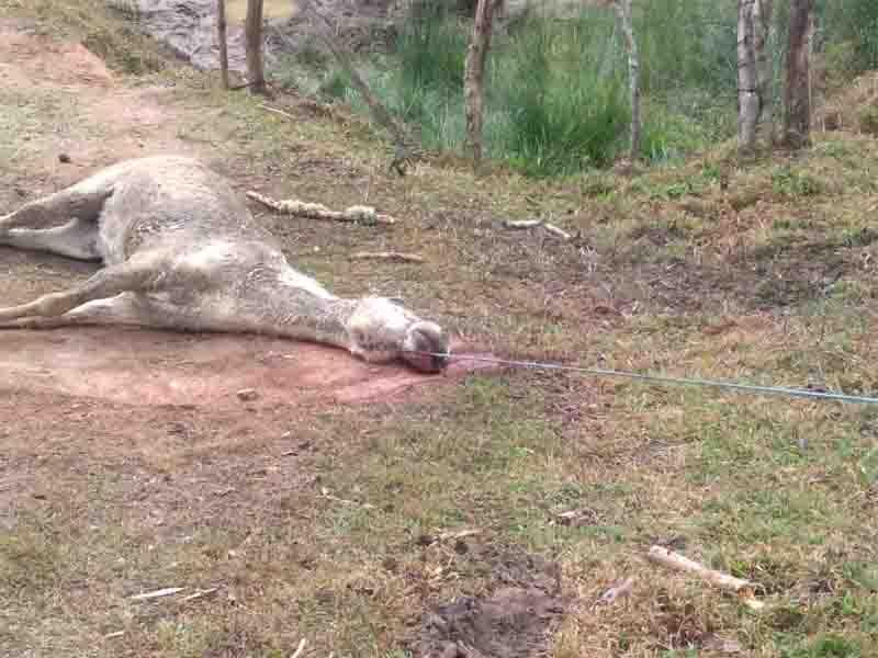 Homem é multado em R$ 6 mil por maus-tratos após cavalo morrer enforcado em Cunha, SP