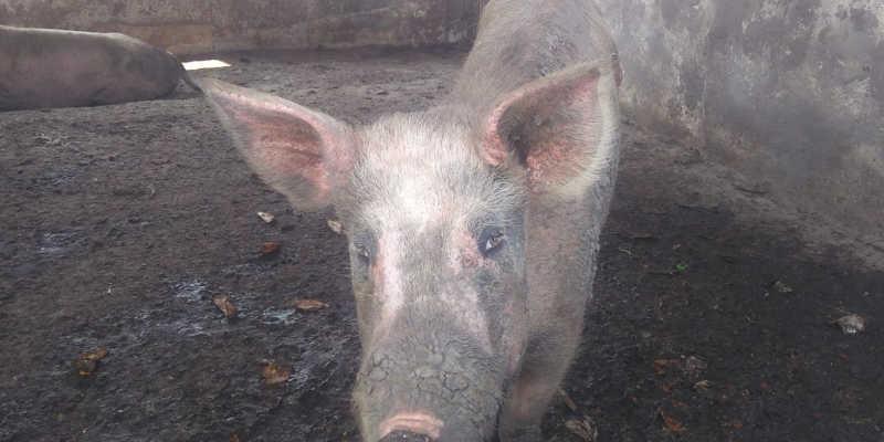 Homem é multado em R$51 mil por maus-tratos a porcos em Guaratinguetá, SP