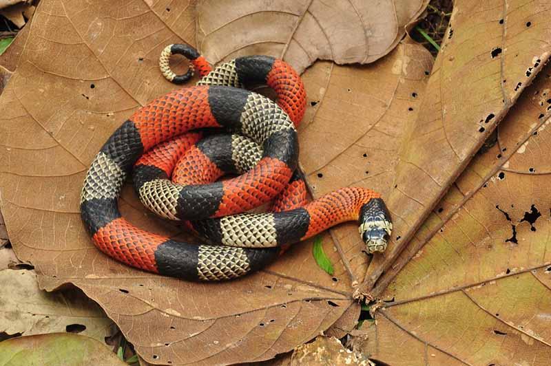 """No """"Que bicho é"""" dessa semana você é desafiado a identificar as cobras-corais — Foto: Renato Gaiga  Tucano"""