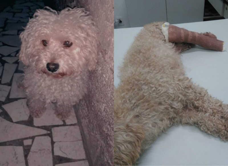 Jovem denuncia vizinho após cão sumido ser devolvido com fraturas no litoral de SP