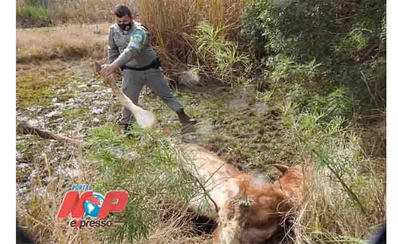 Castração malfeita causa morte de cavalo por hemorragia em Santiago, RS