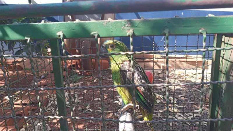 Sem conseguir voar, filhote de papagaio criado ilegalmente é resgatado em rua de Campo Grande, MS