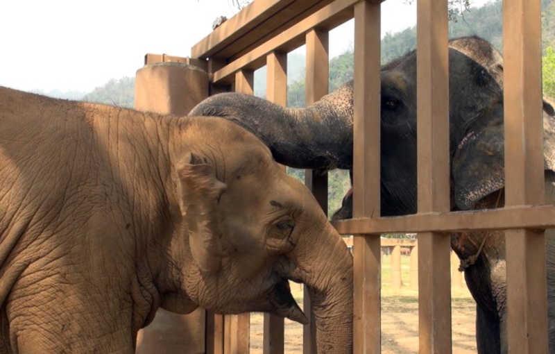 Elefante cego resgatado de um circo é saudado com grande carinho por outros elefantes no santuário