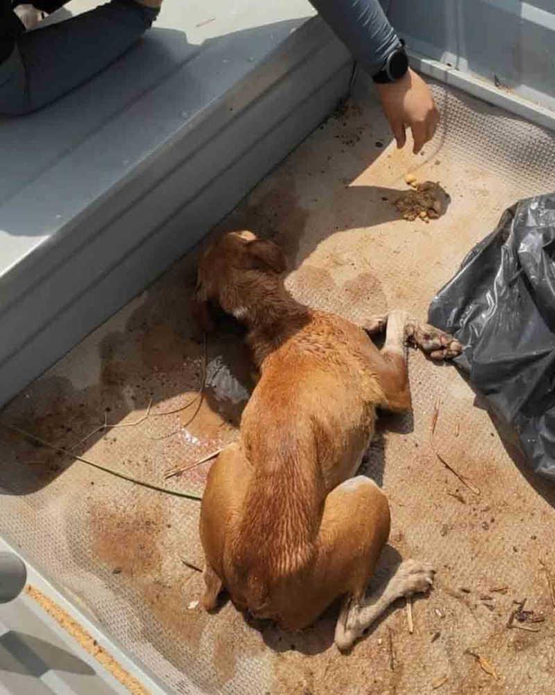 Animal estava debilitado e não conseguia ficar em pé — Foto: Divulgação/Prefeitura de Araguaína