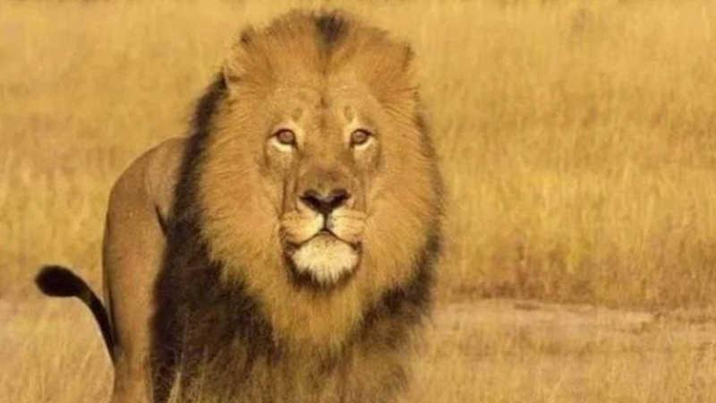 Caçador mata outro leão símbolo do Zimbábue, revivendo a tragédia de Cecil