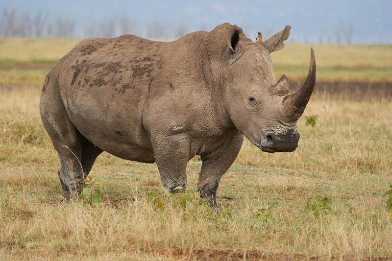 Chifres radioativos podem ser 'arma' contra a caça ilegal de rinocerontes na África do Sul