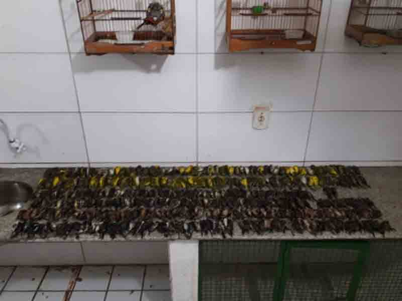 Centenas de pássaros resgatados, vítimas de tráfico, morrem antes de soltura