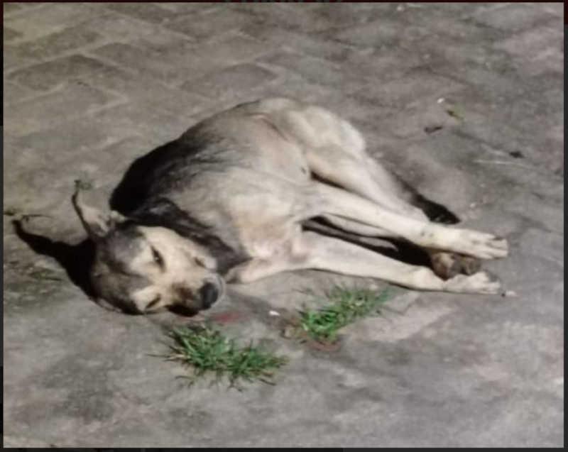 Cachorros comem alimentos com 'chumbinho' e morrem envenenados em Mata Grande, AL