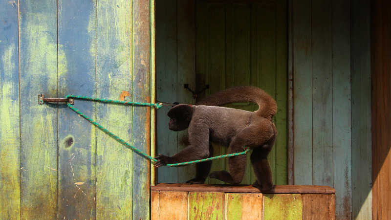 Macaco Barrigudo, é visto amarrado em frente de uma casa, em Lábrea, no sul do Amazonas (Foto: Edmar Barros/Futura Press/Estadão Conteúdo)