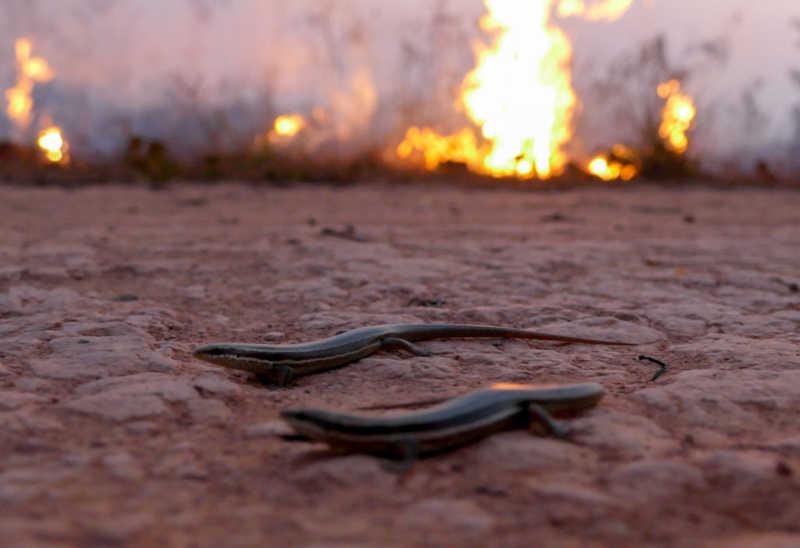 Queimada em área próxima a BR 230 (Transamazônica) no município de Lábrea (AM), no sul do Amazonas. Na foto, pequenos lagartos fogem do fogo.(Foto Sandro Pereira/FotoArena/Estadão Conteúdo)