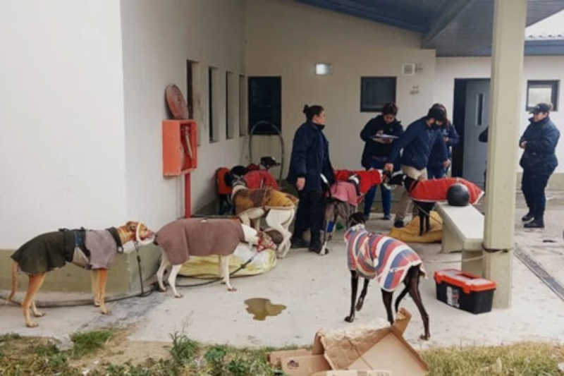 A nova vida dos galgos drogados: do inferno das corridas clandestinas para uma família adotiva