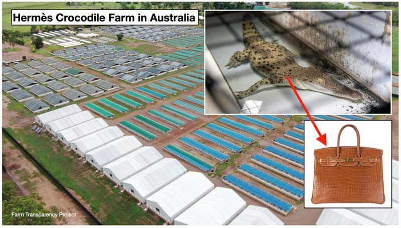 Fazenda de crocodilos da Hermès na Austrália. Hermès abate quatro crocodilos para produzir uma bolsa Birkin / Farm Transparency Project