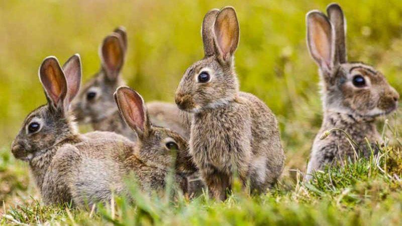 A polêmica da erradicação de coelhos em Ushuaia gerou uma denúncia por contrabando