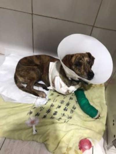 Chica é a cachorrinha resgatada pelo Grupo Quatro Patas, que precisa de doações para pagar a conta da Clínica Veterinária. Foto: Quatro Patas