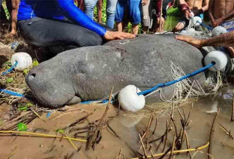Peixe-boi Pintada chega à praia de Mundaú e é avistada por moradores, no litoral cearense