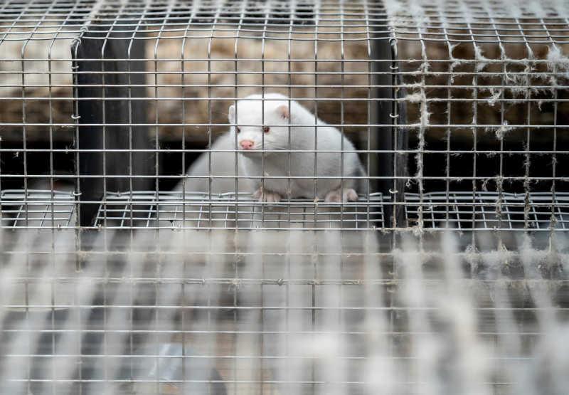 Um vison enjaulado em uma fazenda de peles na Dinamarca.  Ritzau Scanpix / Mads Claus Rasmussen via Reuters