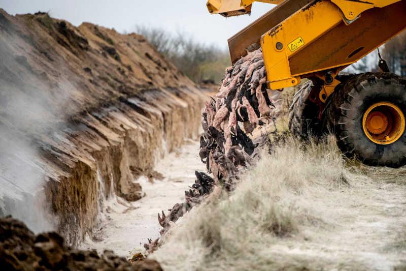 Um caminhão descarrega visons abatidos para que sejam enterrados em Holstebro, Dinamarca, depois de alguns testarem positivo para uma forma mutante do coronavírus. Imagem: AFP