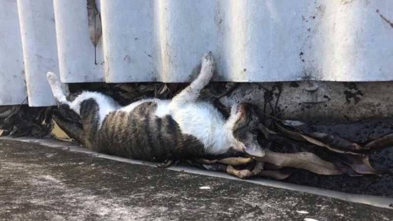 Moradores acreditam que pelo menos 5 gatos de rua foram envenenados em bairro de Vitória — Foto: Reprodução/TV Gazeta