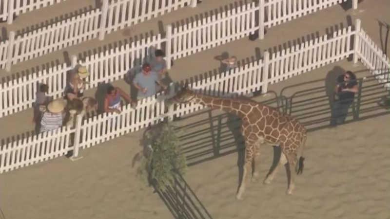 Girafa chamou atenção de transeuntes, visitantes do evento e da imprensa da Califórnia; uma explicação oficial para a celebração com o animal não foi dada pelas autoridades. Caso gerou indignação nas redes sociais.