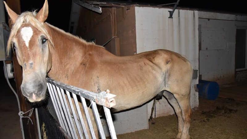 Homem preso, acusado de crueldade contra animais após o resgate de três cavalos negligenciados em Chandler, EUA