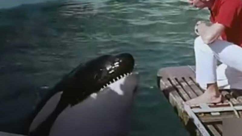 """Hugo, a baleia orca, que """"cometeu suicídio"""" em cativeiro, segundo ativistas dos direitos dos animais (Imagem: Youtube)"""