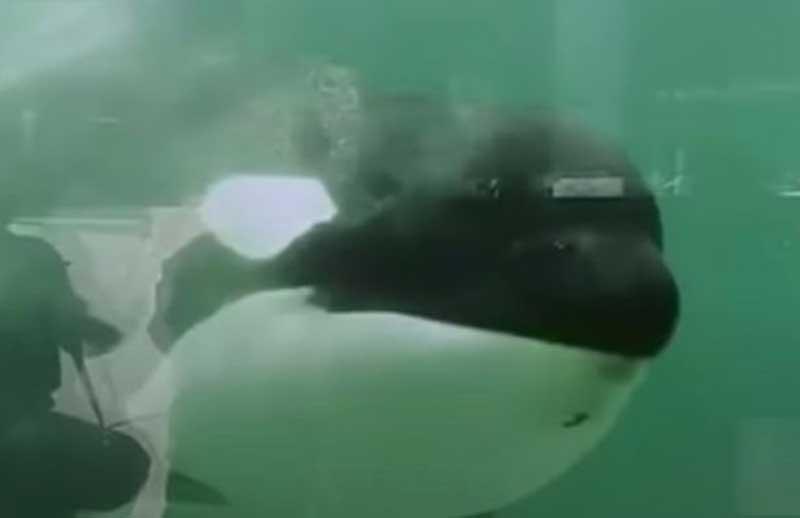 Hugo, uma orca.  (Imagem: Youtube)