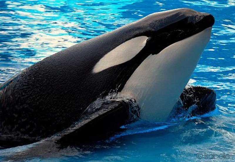 Orca Tilikum (Imagem: Foto publicitária)