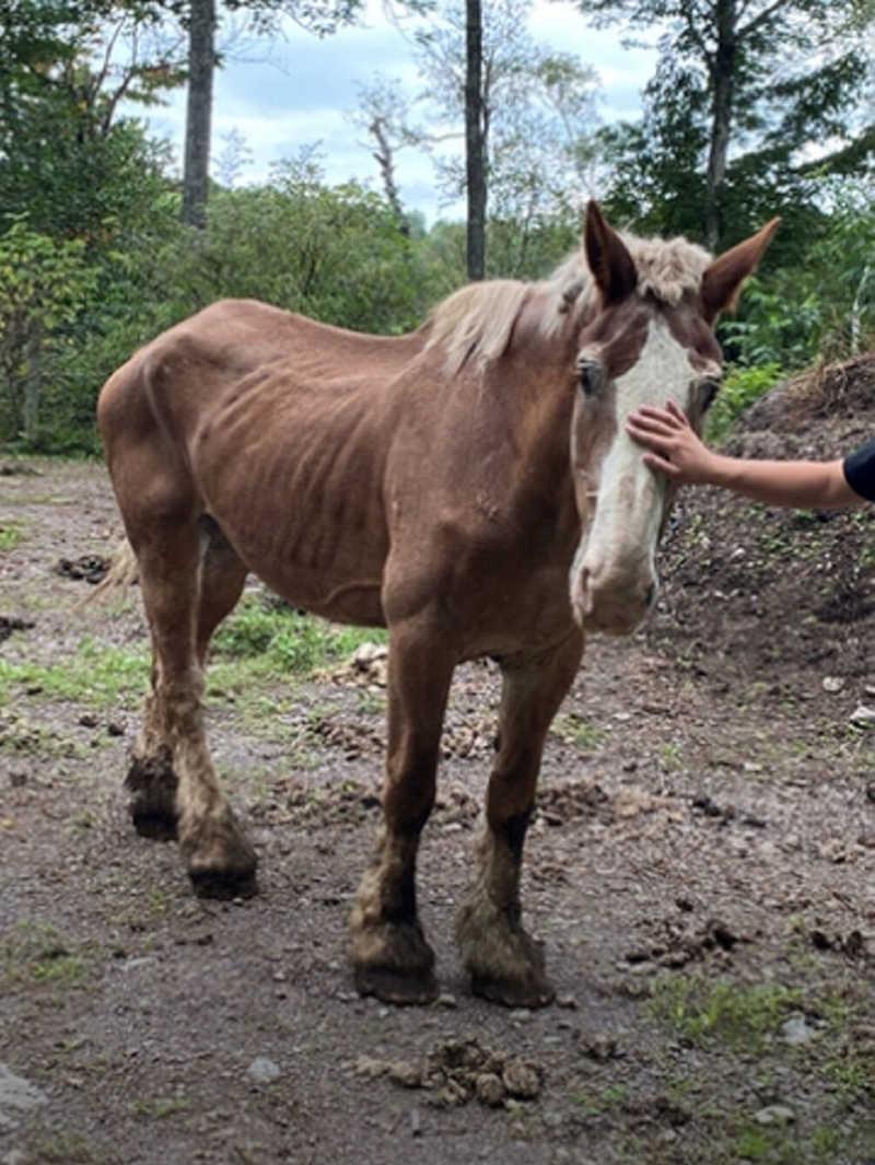 Um cavalo chamado Ben foi transferido para um local seguro a fim de receber cuidados adequados. Seu dono está enfrentando acusações de crueldade contra animais. Foto cedida.