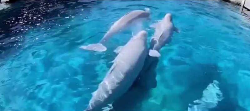 No Mystic Aquarium, outra baleia beluga (segunda) está estável após estado crítico na semana passada