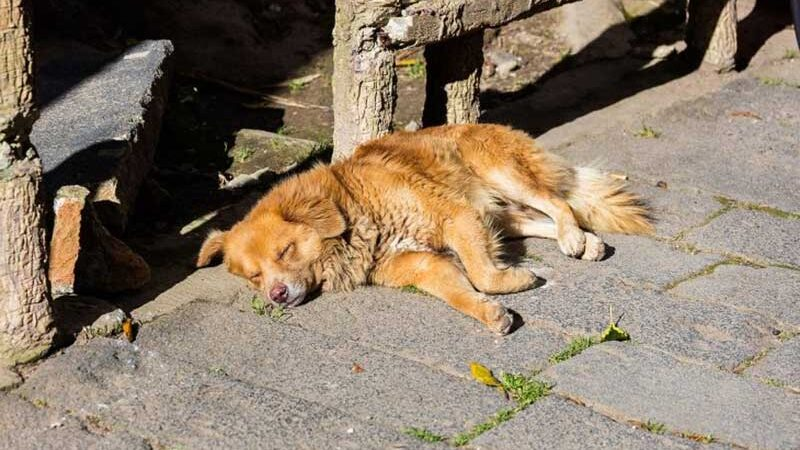 Um cachorro na rua. (Imagem: Wikimedia Commons)
